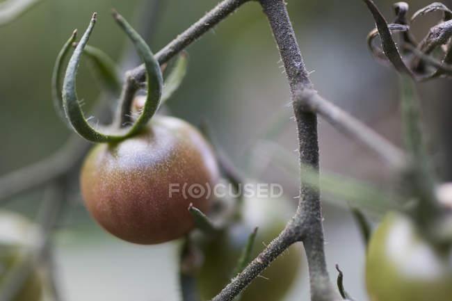 Fermez-vous vers le haut de la maturation de tomate sur la vigne — Photo de stock