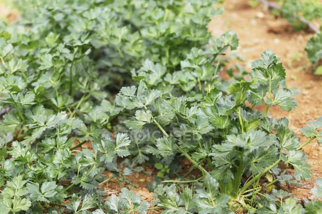 Живі зелені органічні селера рослин, що ростуть в городгороді — стокове фото