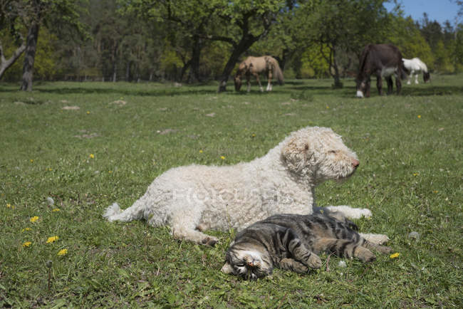 Cat and dog laying in sunny rural springtime field with horses in background — Stock Photo