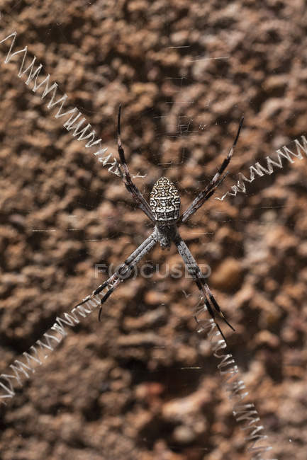 Gros plan d'une araignée aux longues pattes étendues sur un réseau d'araignées — Photo de stock