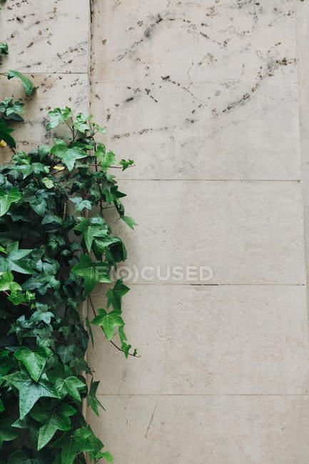 Ivy poussant le long du mur de pierre — Photo de stock