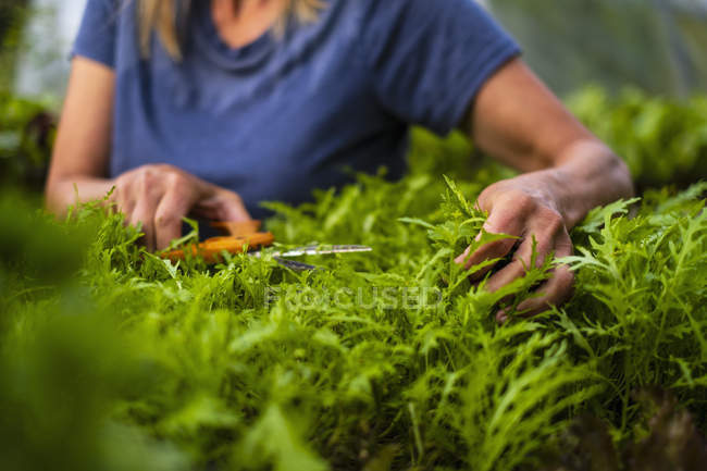 Cropped image of woman trimming vegetable plant — Stock Photo