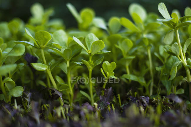 Close up vibrant green seedling purslane plants — Stock Photo