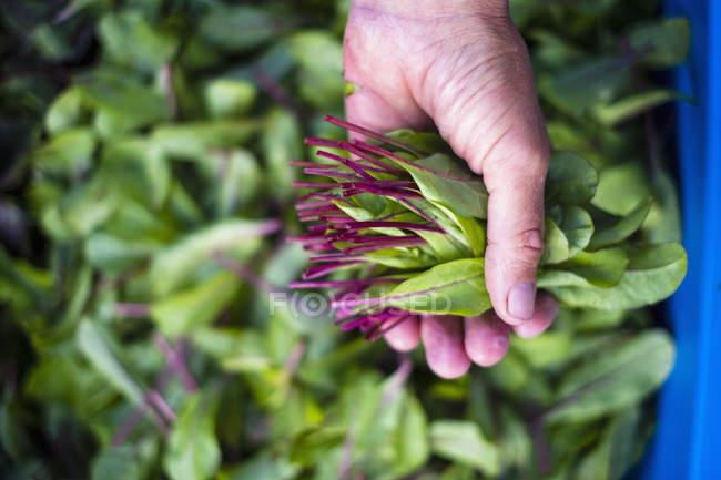 Frau hält frisch geerntetes Löwenzahngrün in der Hand — Stockfoto