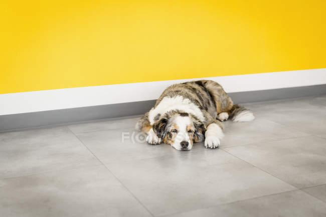Cane stanco che dorme vicino alla parete gialla — Foto stock