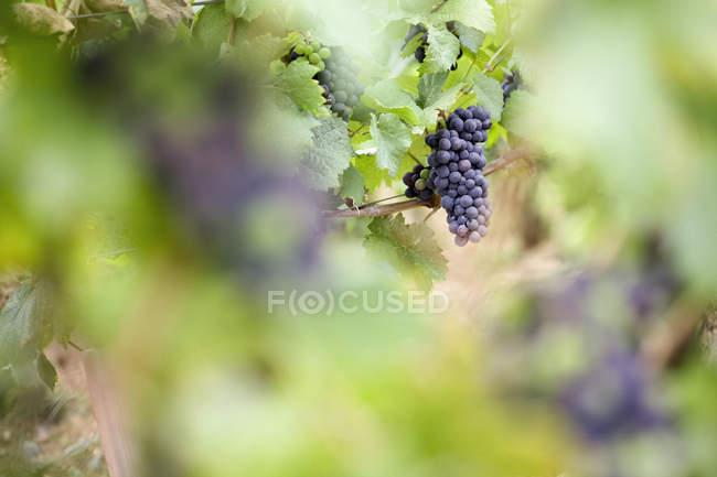Виноград росте в винограднику. — стокове фото