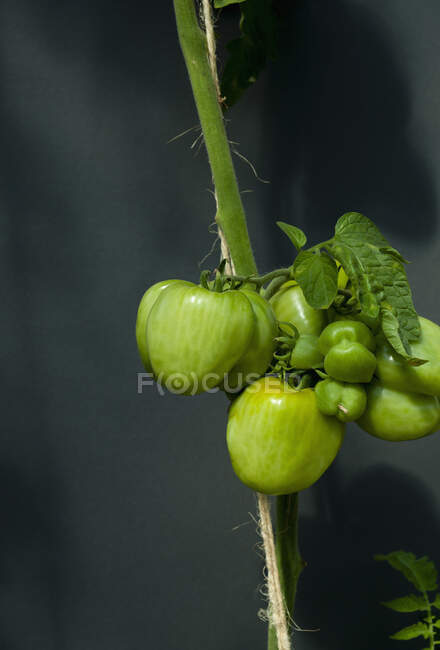 Green tomatoes growing on vine — Stock Photo