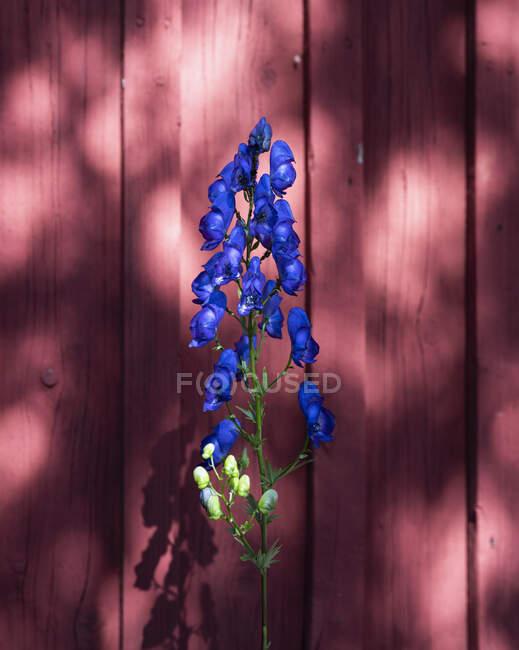 Delphinium bleu vif contre la clôture rouge — Photo de stock
