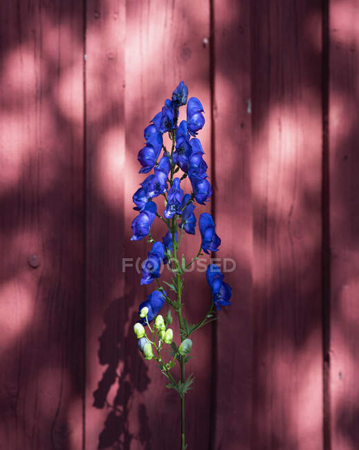 Vibrant blue delphinium against red fence — Stock Photo