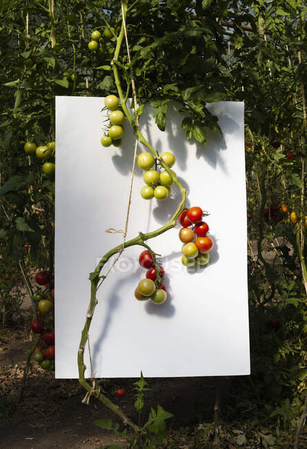 Ripening vine tomatoes against white background in garden — Stock Photo