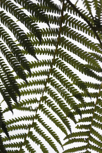 Close up green fern branches against white background — Stock Photo