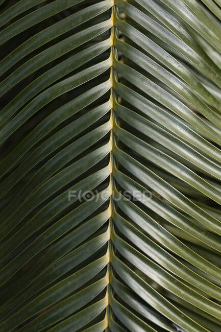 Close up green palm leaf — Stock Photo