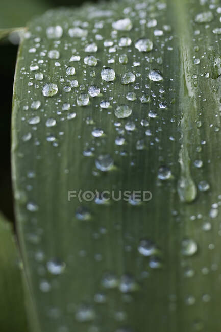 Extreme close up raindrops on green leaf — Stock Photo