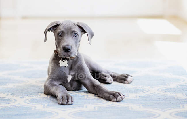 Portrait mignon gris Grand Chiot Danois sur tapis — Photo de stock