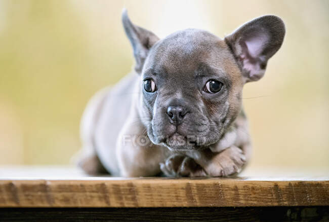 Portrait cute French Bulldog puppy — Stock Photo