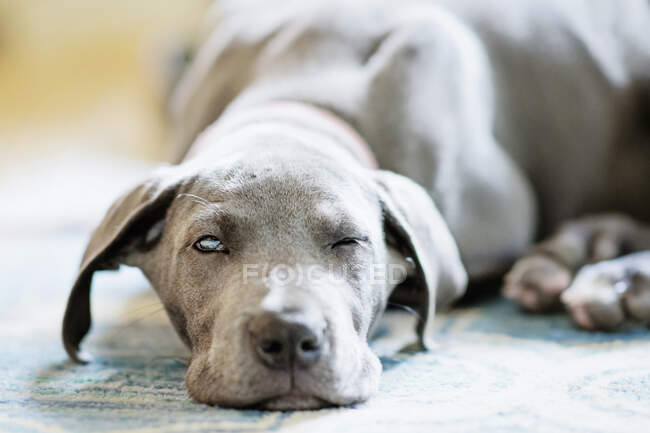 Portrait tired gray Great Dane puppy falling asleep on rug — Stock Photo