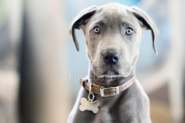 Portrait cute gray Great Dane puppy with blue eyes — стоковое фото