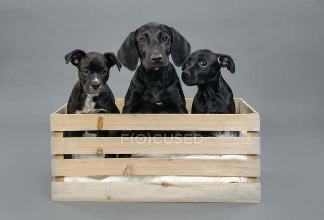 Портрет милый черный щенки в деревянном ящике — стоковое фото