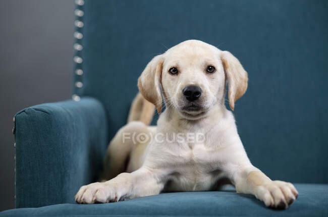 Ritratto carino cucciolo giallo posa in poltrona blu acqua — Foto stock