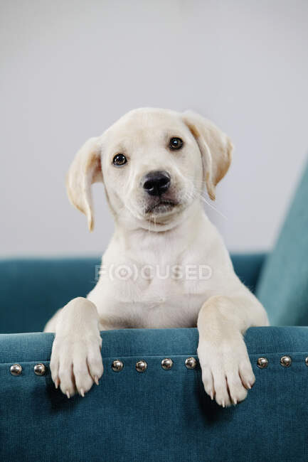 Portrait cute yellow puppy in teal blue chair — Stock Photo
