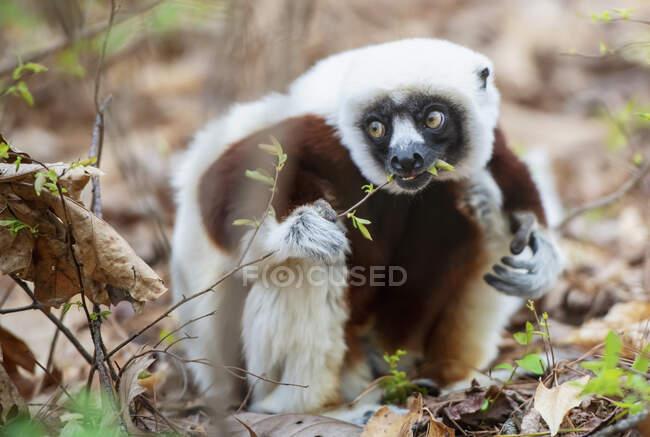 Plante mangeuse de lémur mignon — Photo de stock