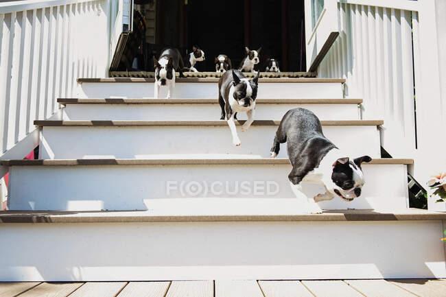 Boston Terrier puppies running down sunny stairs — Stock Photo