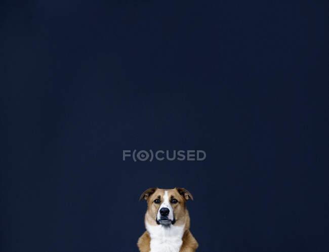 Portrait chien brun et blanc sur fond bleu foncé — Photo de stock