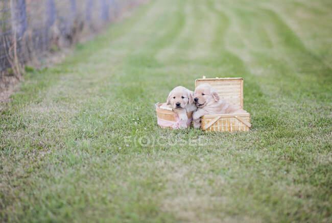 Golden Retriever puppies in picnic baskets in grass field — Stock Photo