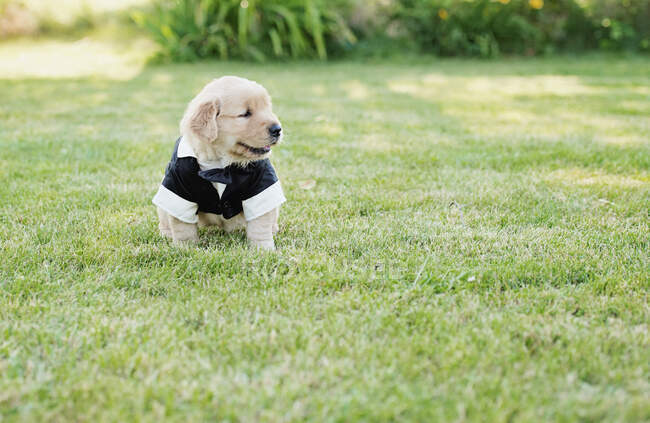 Маля золотого ретривера, одягнене в костюм нареченого в траві. — стокове фото