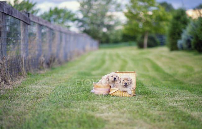 Cute Golden Retriever puppies in picnic baskets in grass field — Stock Photo