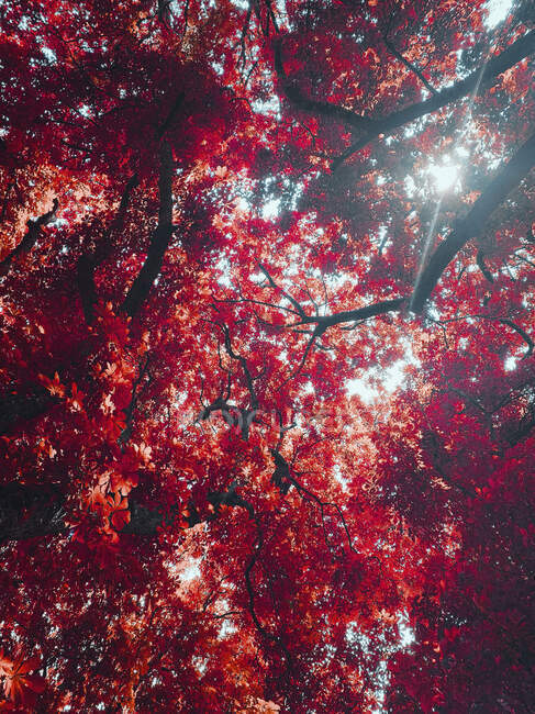 Vista desde abajo idílico soleado vibrante hojas de otoño rojo en el árbol - foto de stock