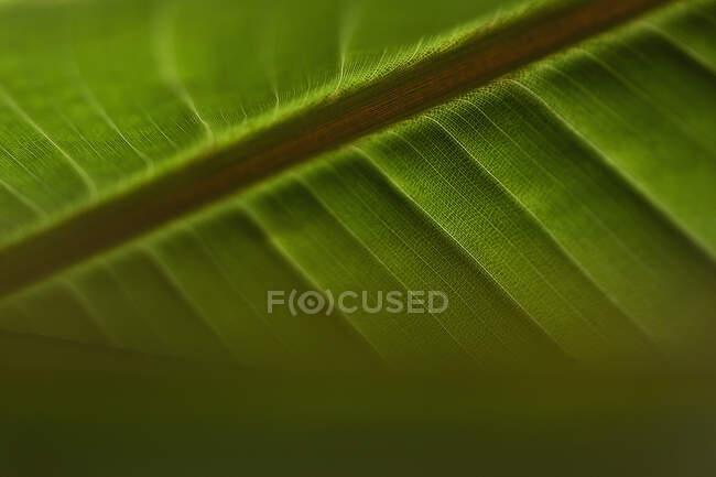 Cierre de venas en hoja tropical verde - foto de stock
