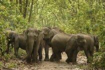 Herde asiatischer Elefanten elephas maximus unter Bäumen; Korbetttiger Reserve; uttaranchal; indi — Stockfoto