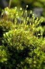 Muschio con capsule sulla parete all'aperto di monsone umido verde — Foto stock