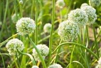 Flores de cebolla de primavera - foto de stock