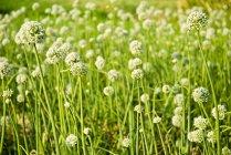 Fiori di cipolle — Foto stock