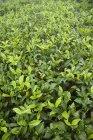 Teagarden Ooty durante o dia — Fotografia de Stock