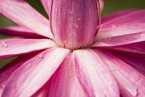 Close-up de lótus rosa — Fotografia de Stock