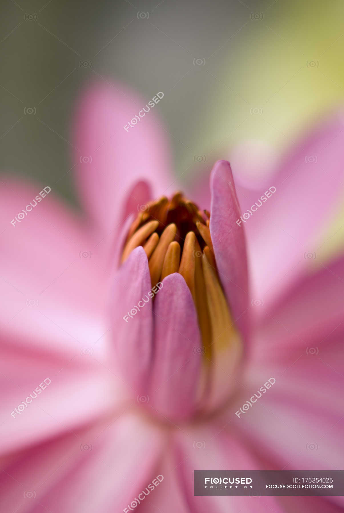 Lotus With Closed Petals Stock Photo 176354026