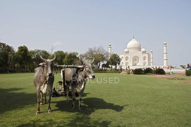 Bullock utilizzati per il taglio dell'erba del prato nel giardino di Taj Mahal, Agra, India — Foto stock
