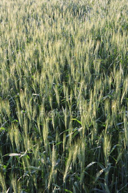 Ernte Weizen, Landwirtschaft-Felder in der Nähe von Taj Mahal, am Ufer des Flusses Yamuna, UNESCO-Weltkulturerbe, Agra, Uttar Pradesh, Indien — Stockfoto