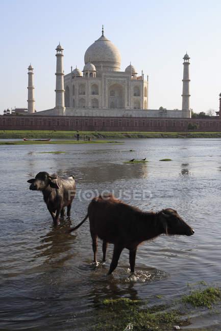 Due bufali nel fiume Yamuna contro Taj Mahal Settima meraviglie del mondo, Agra, India — Foto stock