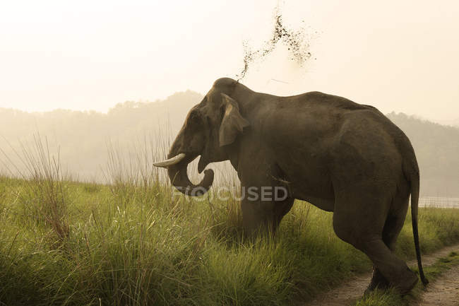Asiatic Elephant tusker Elephas maximus throwing mud ; Corbett Tiger Reserve ; Uttaranchal ; India — Stock Photo