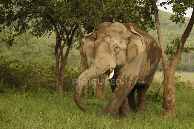 Asiatischer Elefant Elephas Maximus Schlamm; Corbett Tiger Reserve; Uttaranchal; Indien — Stockfoto