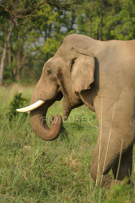 Asiatischer Elefant Elephas Tusker Maximus lone in Hitze; Corbett Tiger Reserve; Uttaranchal; Indien — Stockfoto