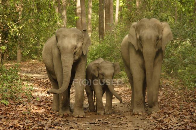 Asiatische Elefanten Familie mit jungen Kalb Elephas Maximus in Corbett Tiger Reserve; Uttaranchal; Indi — Stockfoto