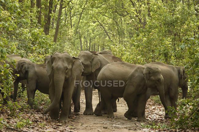 Herde von Asiatischer Elefant Elephas Maximus unter Bäumen; Corbett Tiger Reserve; Uttaranchal; Indi — Stockfoto