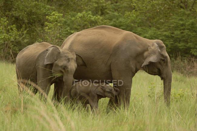 Asiatischer Elefant mit jungen Kälbern Elephas Maximus über grünen Rasen in Corbett Tiger Reserve; Uttaranchal; Indi — Stockfoto
