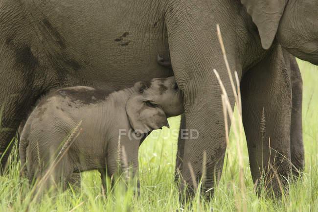 Asiatic elefante Elephas maximus - mãe alimentação bezerro; Corbett tigre reserva; Uttaranchal; Indi — Fotografia de Stock
