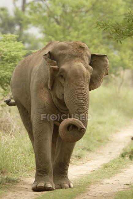 Asiatischer Elefant Elephas Maximus auf Feldweg zu Fuß während des Tages; Corbett Tiger Reserve; Uttaranchal; Indi — Stockfoto